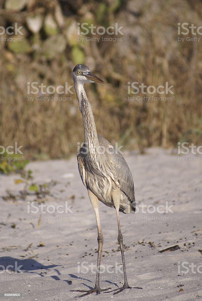 Great Blue Heron On Beach royalty-free stock photo