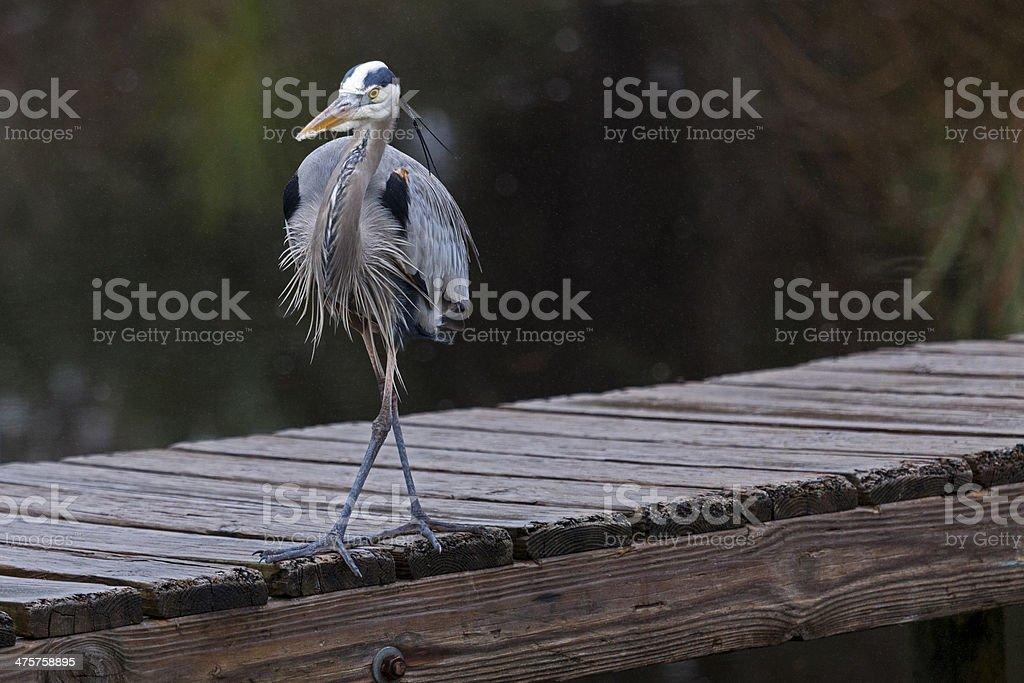 Great Blue Heron on dock stock photo