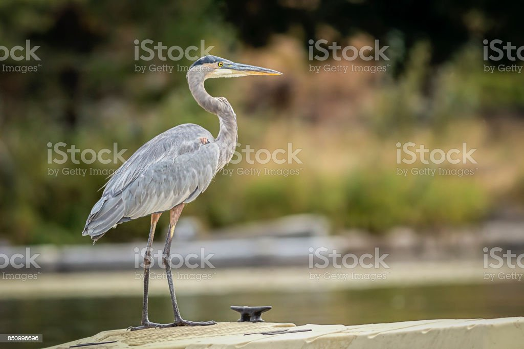 Great blue heron on dock. stock photo
