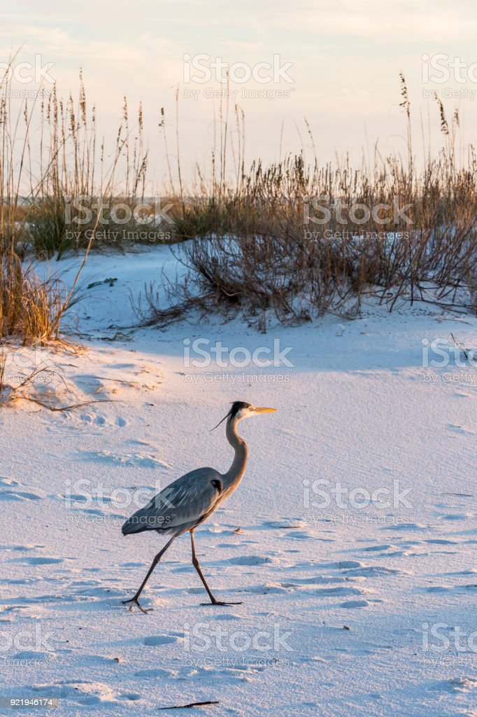 Great Blue Heron on Fort Pickens Beach stock photo