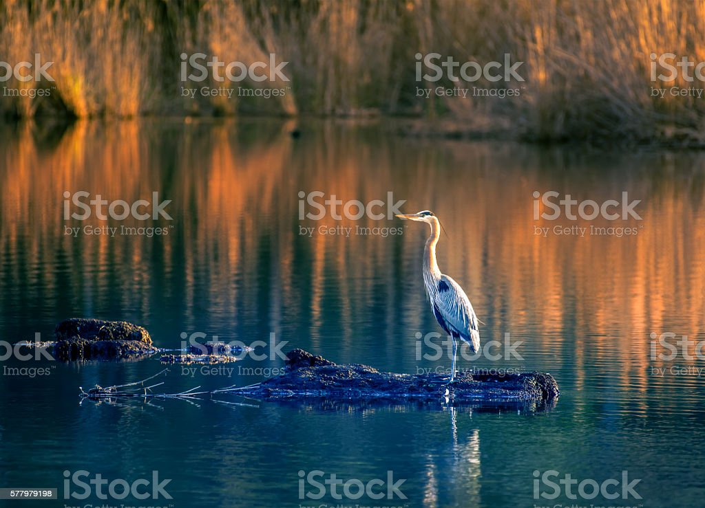 Great Blue Heron on Golden Pond stock photo