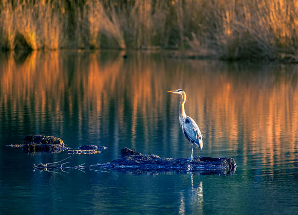 great blue heron on golden pond - crane bird stock pictures, royalty-free photos & images