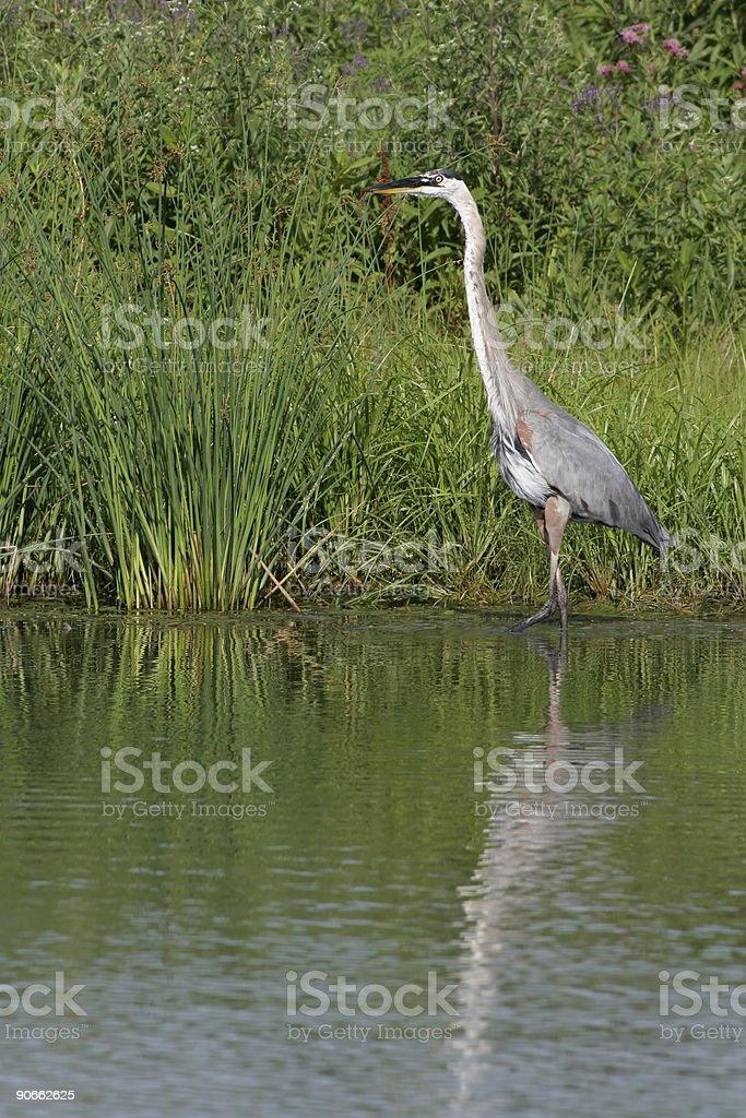 Great Blue Heron on Lakeshore stock photo