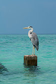 One large Great Blue Heron stands on concert stone in turquoise sea against clear blue sky.