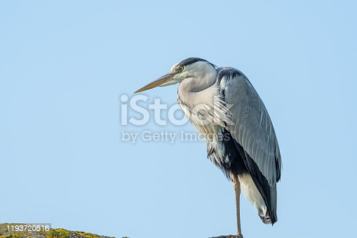 Great blue heron on the lookout and standing on one leg against a blue sky as background