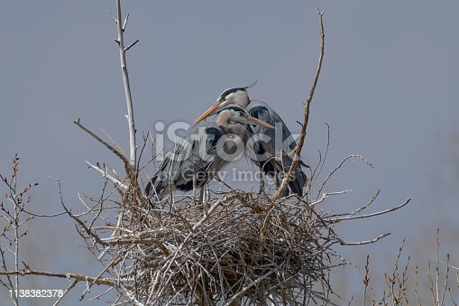 Great Blue Heron nest building by gathering sticks