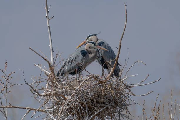 Great Blue Heron pair perching and rebuilding nest Great Blue Heron nest building by gathering sticks lake waterfowl stock pictures, royalty-free photos & images