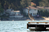 Great blue heron perched on a dock overlooking blue water and scenic shoreline