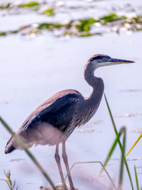 Great blue heron perched on log, surrounded by water and grasses stock photo