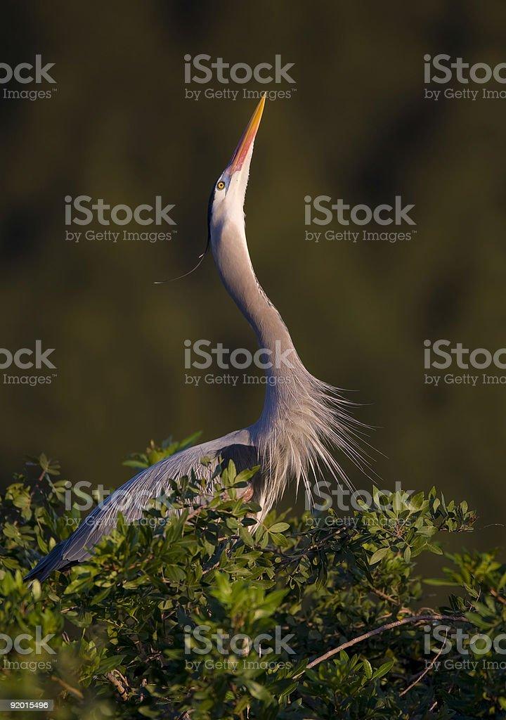 Great Blue Heron performing a mating display royalty-free stock photo