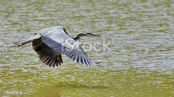 A great blue heron taking off.