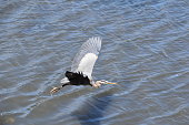 Great Blue Heron in Flight, Catching Fish