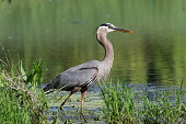 A Great Blue Heron at the edge of a pond looking for fish.