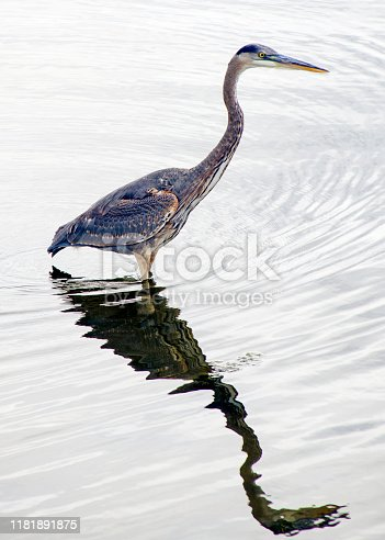 A blue heron hunts for fish on the bank of an Eastern Colorado pond.