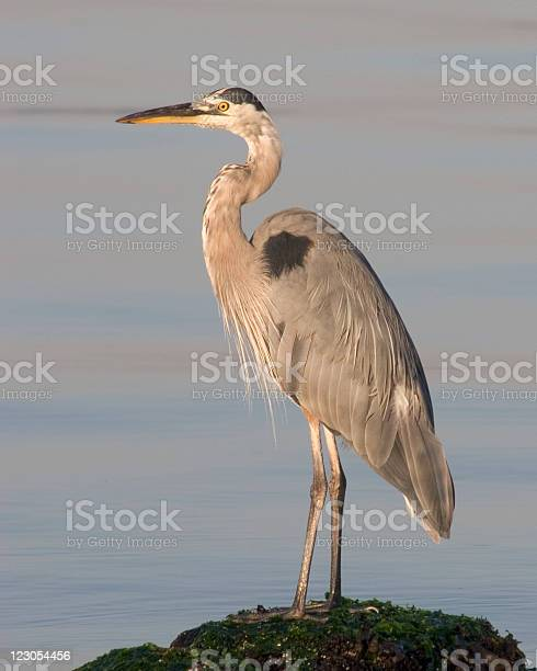 Great Blue Heron Stock Photo - Download Image Now