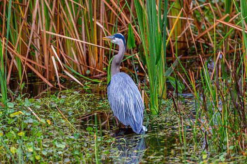 Great blue heron in marsh in Florida.