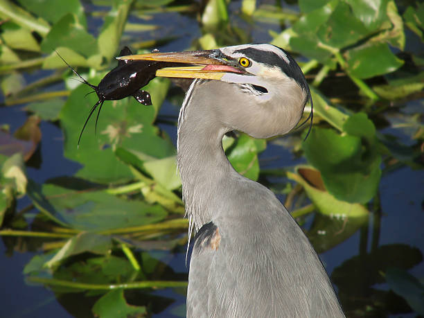 Great Blue Heron stock photo