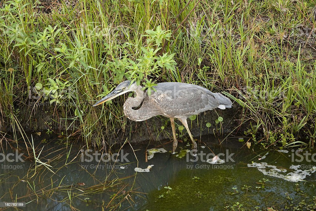 Great Blue Heron royalty-free stock photo