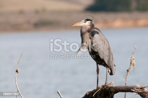 Great blue heron perched on shoreline