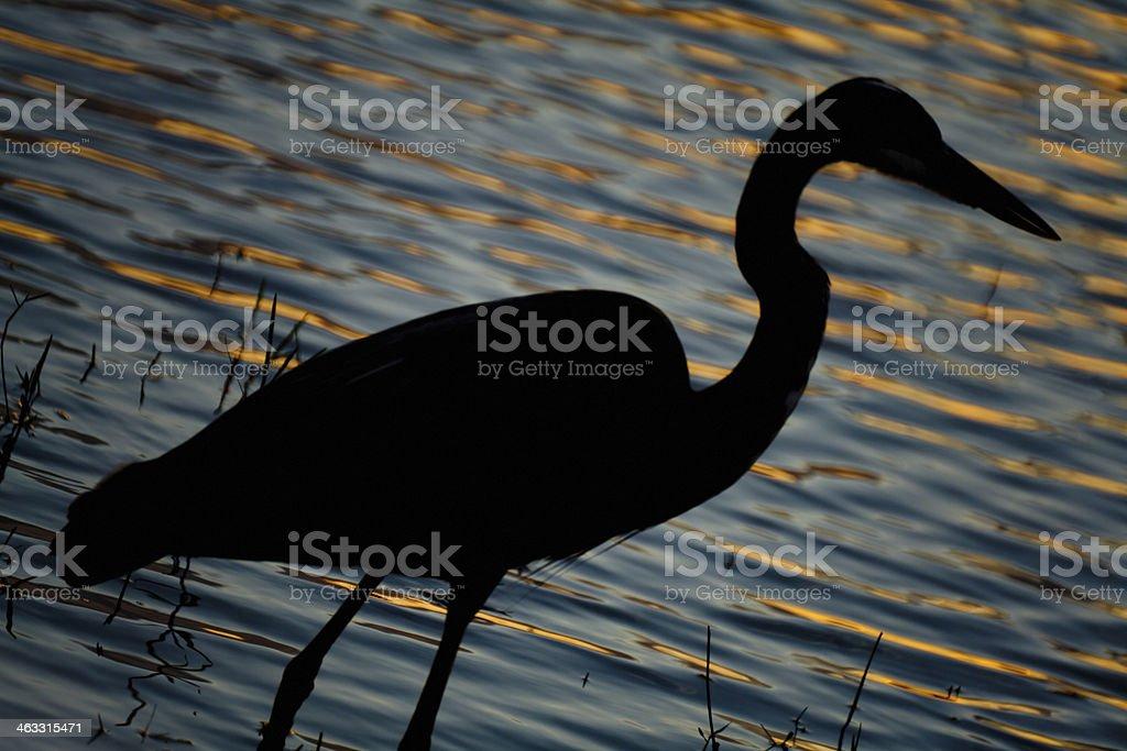 Great Blue Heron (Ardea Herodias) royalty-free stock photo