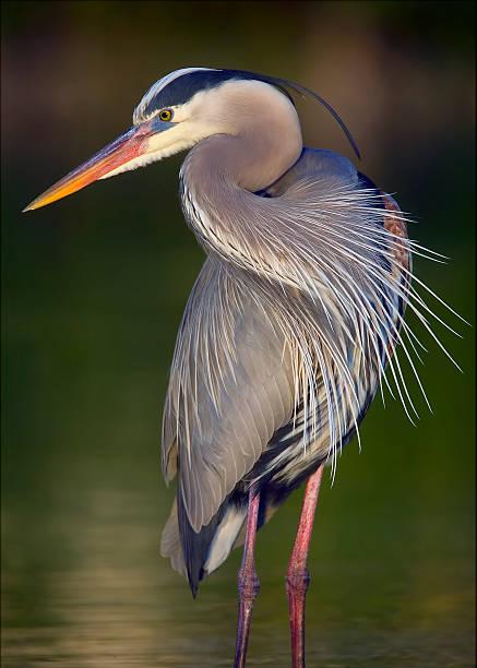 great blue heron - balıkçıl stok fotoğraflar ve resimler