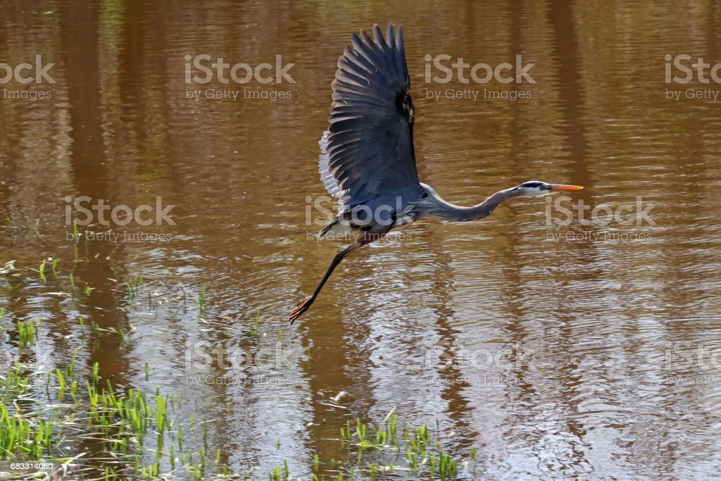 Great Blue Heron foto stock royalty-free