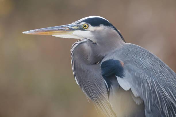 Great Blue Heron Portrait stock photo