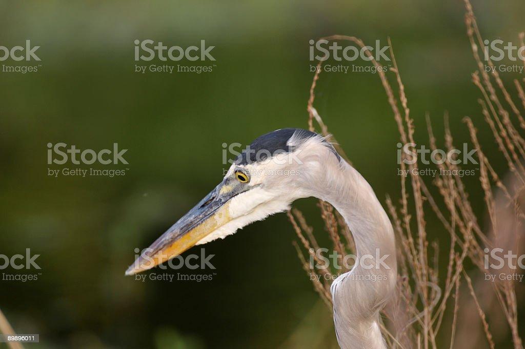 Great Blue Heron Portrait royalty-free stock photo