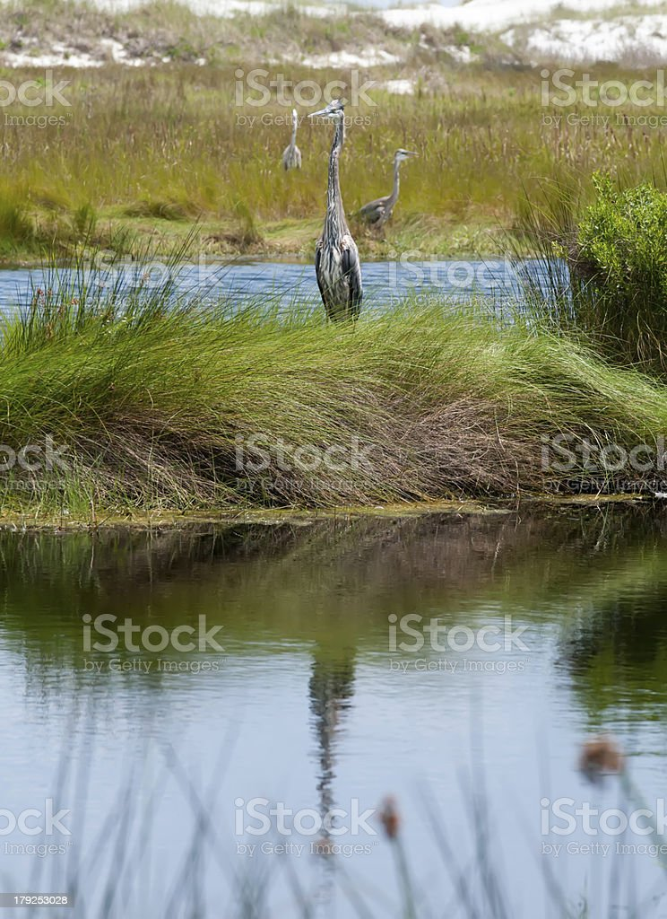 great blue heron poses in florida wetlands royalty-free stock photo