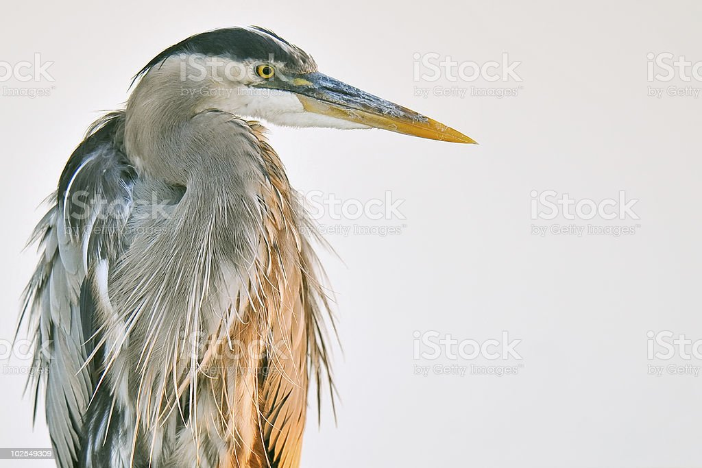 great blue heron posing against wetland pond royalty-free stock photo