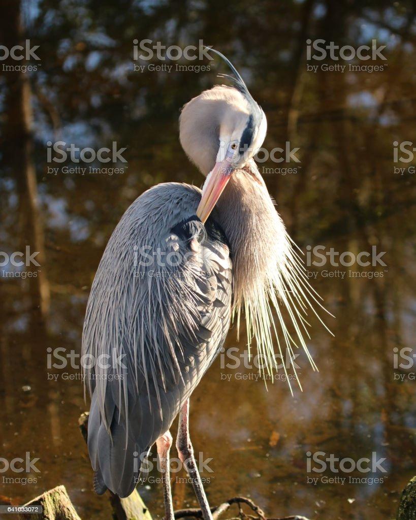 Great blue Heron preening stock photo