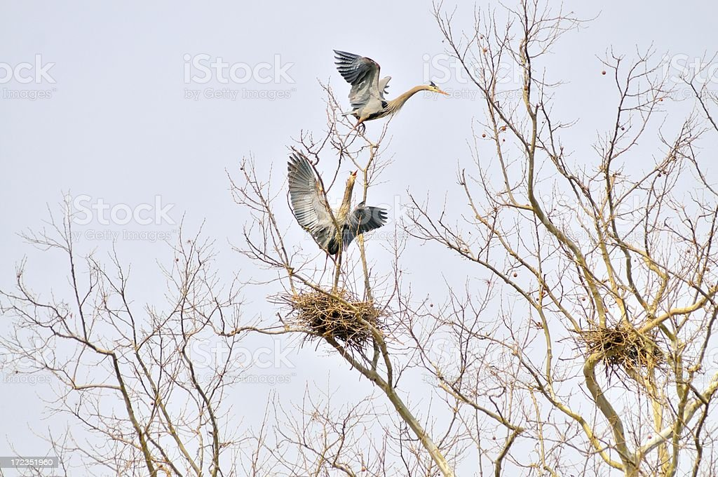 Great Blue Heron Property Fight royalty-free stock photo