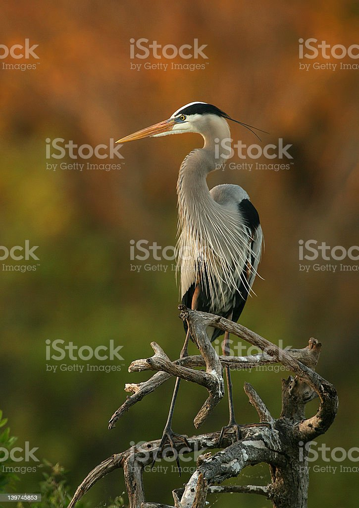 Great Blue Heron Sentry royalty-free stock photo