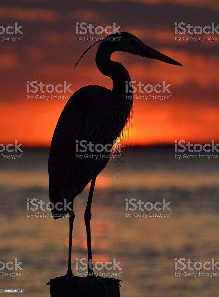 Great Blue Heron Silhouette stock photo