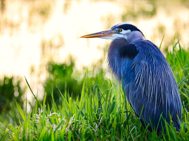 great blue heron (ardea herodias) sitting in a lake - wildplassen stockfoto's en -beelden
