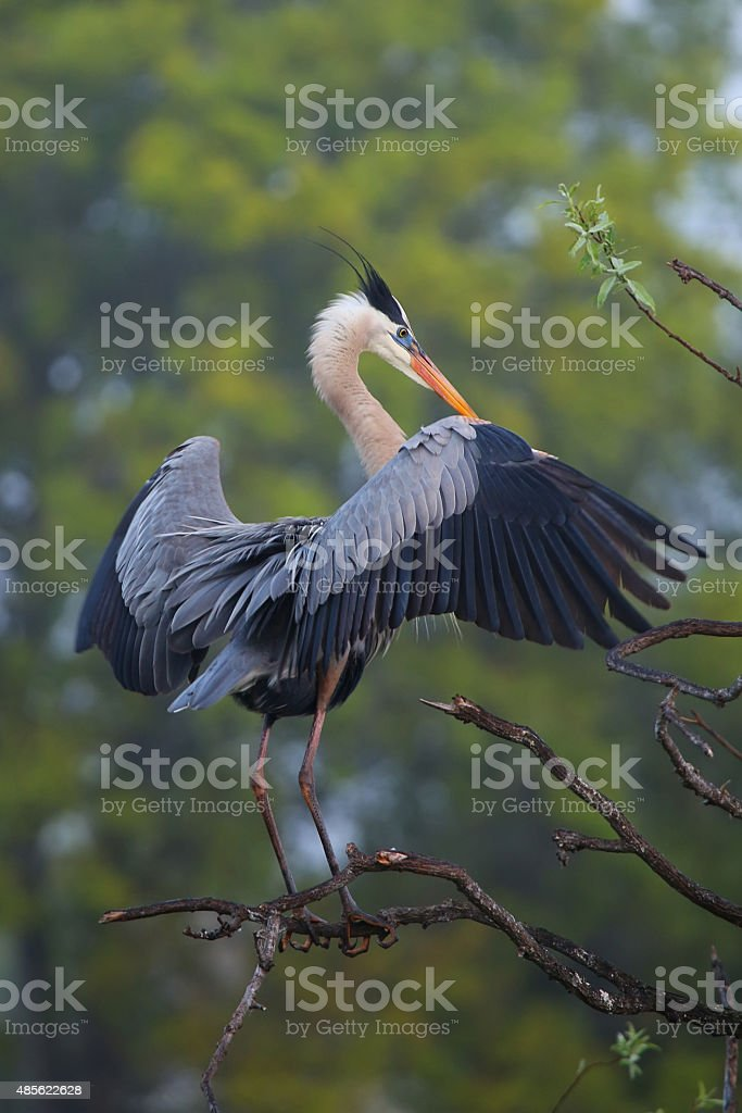 Great Blue Heron spreading wings. stock photo