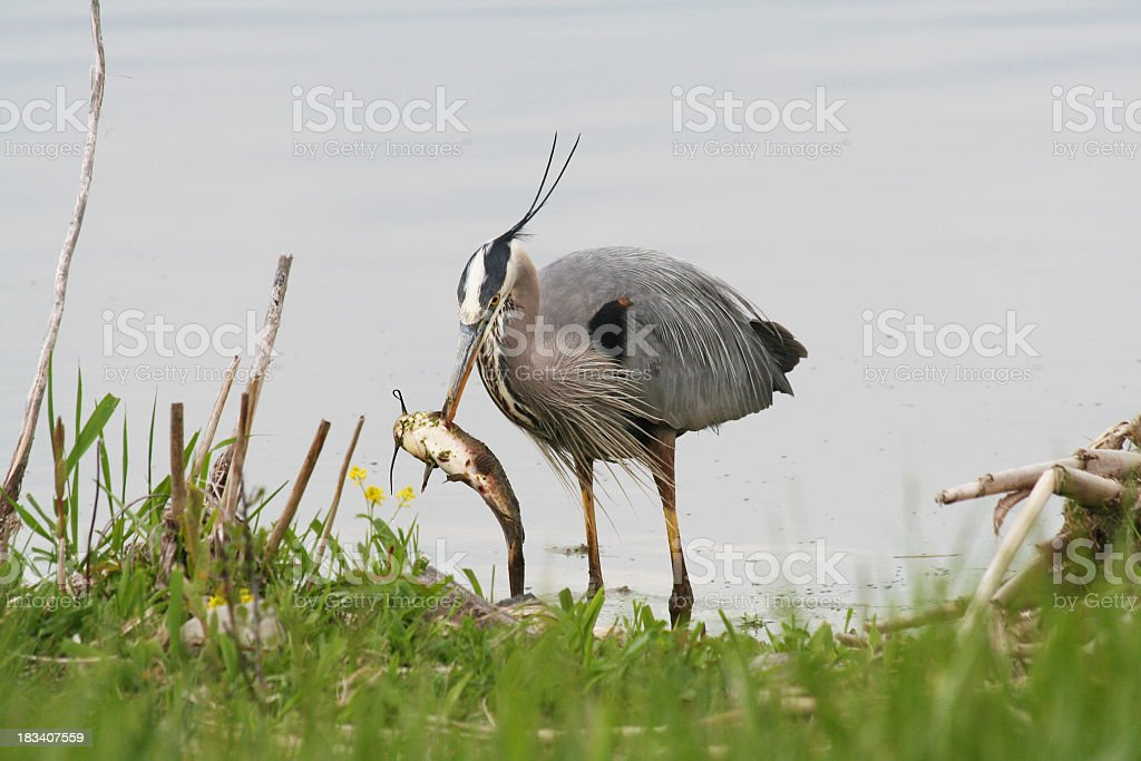 Great Blue Heron Stabbing a Large Fish stock photo