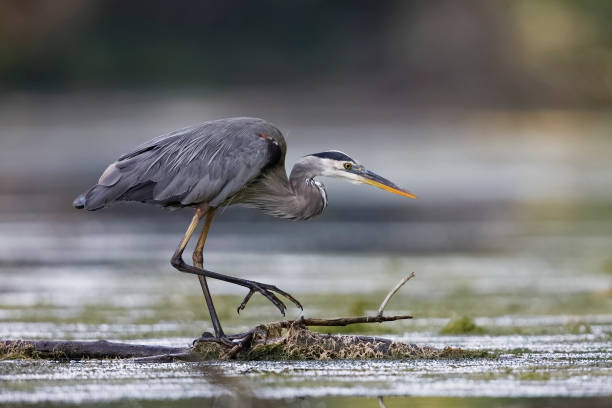 Great Blue Heron stalking its prey Great Blue Heron (Ardea herodias) stalking its prey from a partially submerged log - Ontario, Canada water bird stock pictures, royalty-free photos & images