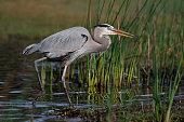Great Blue Heron (Ardea herodias) stalking its prey - Myakka River State Park, Florida