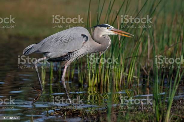 Great Blue Heron (Ardea herodias) stalking its prey - Myakka River State Park, Florida