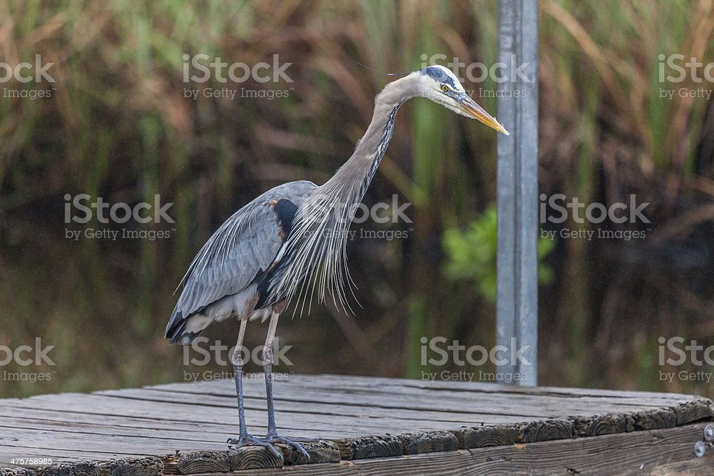 Great Blue Heron standing at a dock royalty-free stock photo