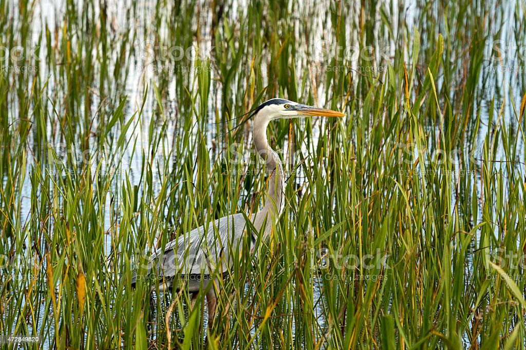 Great Blue Heron standing in a pond stock photo