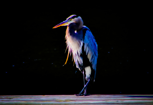 A Great Blue Heron standing in front of a black bachground featuring an oil painting effect