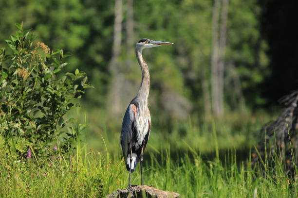 Great blue heron standing  in marsh stock photo