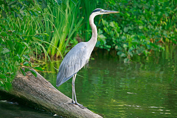 A great blue heron standing on a log in a river stock photo