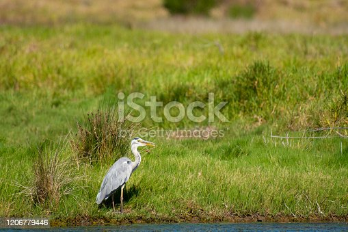 Great blue heron (Ardea herodias) standing on river bank looking right with blurred green grass in background