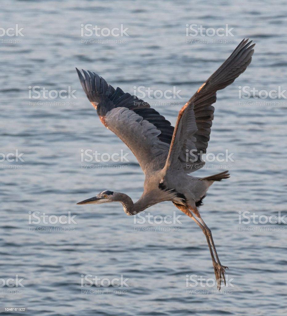 Great Blue Heron Take Off stock photo