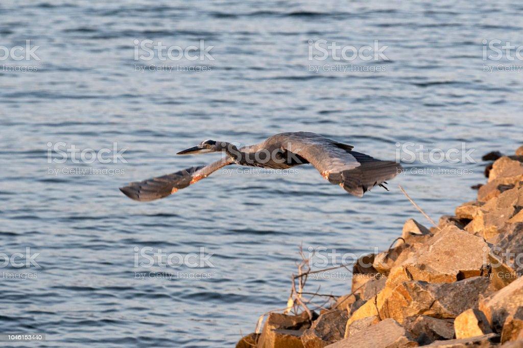 Great Blue Heron Take-Off stock photo