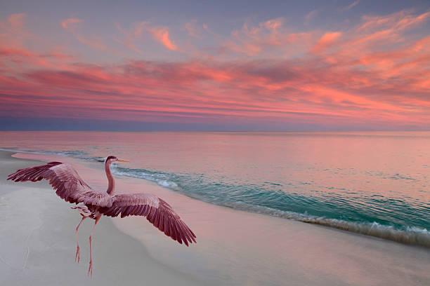 great blue heron takes off as the sun sets - balıkçıl stok fotoğraflar ve resimler