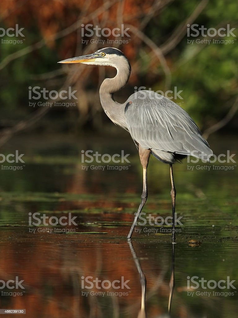 Great Blue Heron Wading in a River - Ontario, Canada stock photo